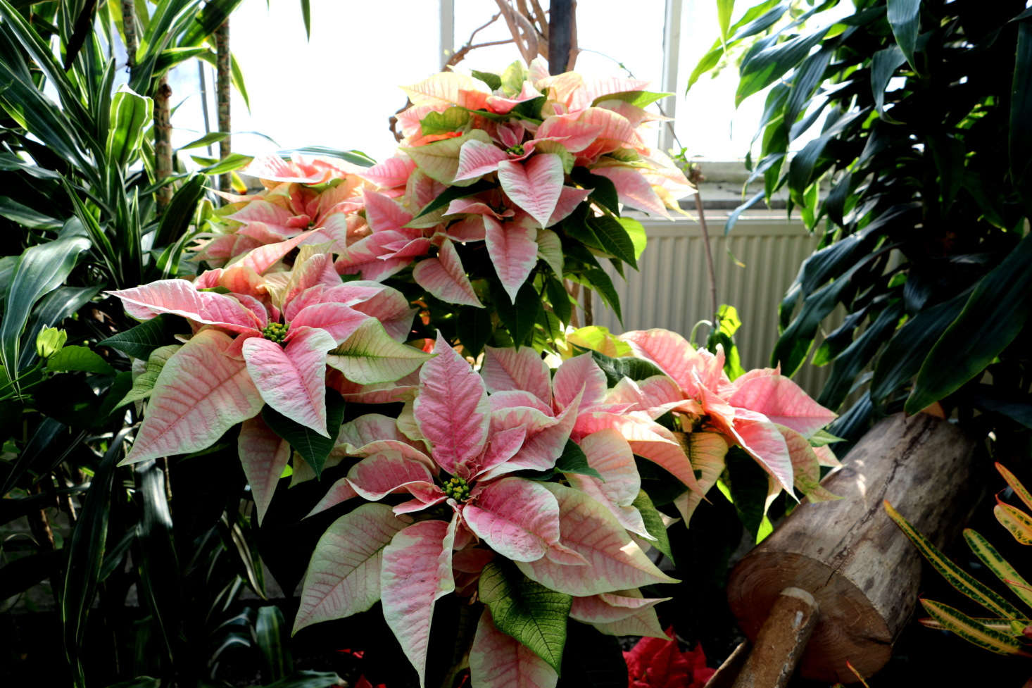 Poinsettias, pink and white stripe edition, are happy in the controlled conservatory climate of Toronto Botanical Garden. Photograph by Rina Pitucci via Flickr.