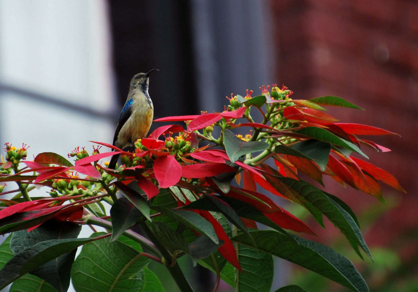 A bird perches on a poinsettia growing outdoors in Rwanda. Photograph by Kate via Flickr.