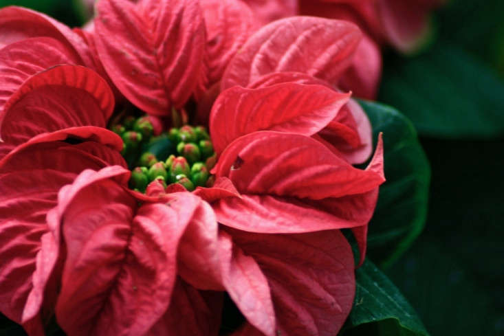 A poinsettia at Lalbagh Botanical Garden in Bangalore, India. Photograph by Swaminathan via Flickr.