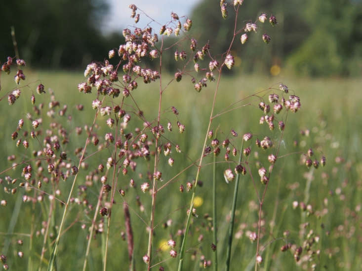 Briza media in Southern Heath Nature Park in Germany. Quaking grass is named for the tiny greenish flowers which turn to flattened purple pendants that dangle like quivering earrings. The flowers becomestraw-colored with maturity, Photograph by Hajotthu via Wikimedia Commons.