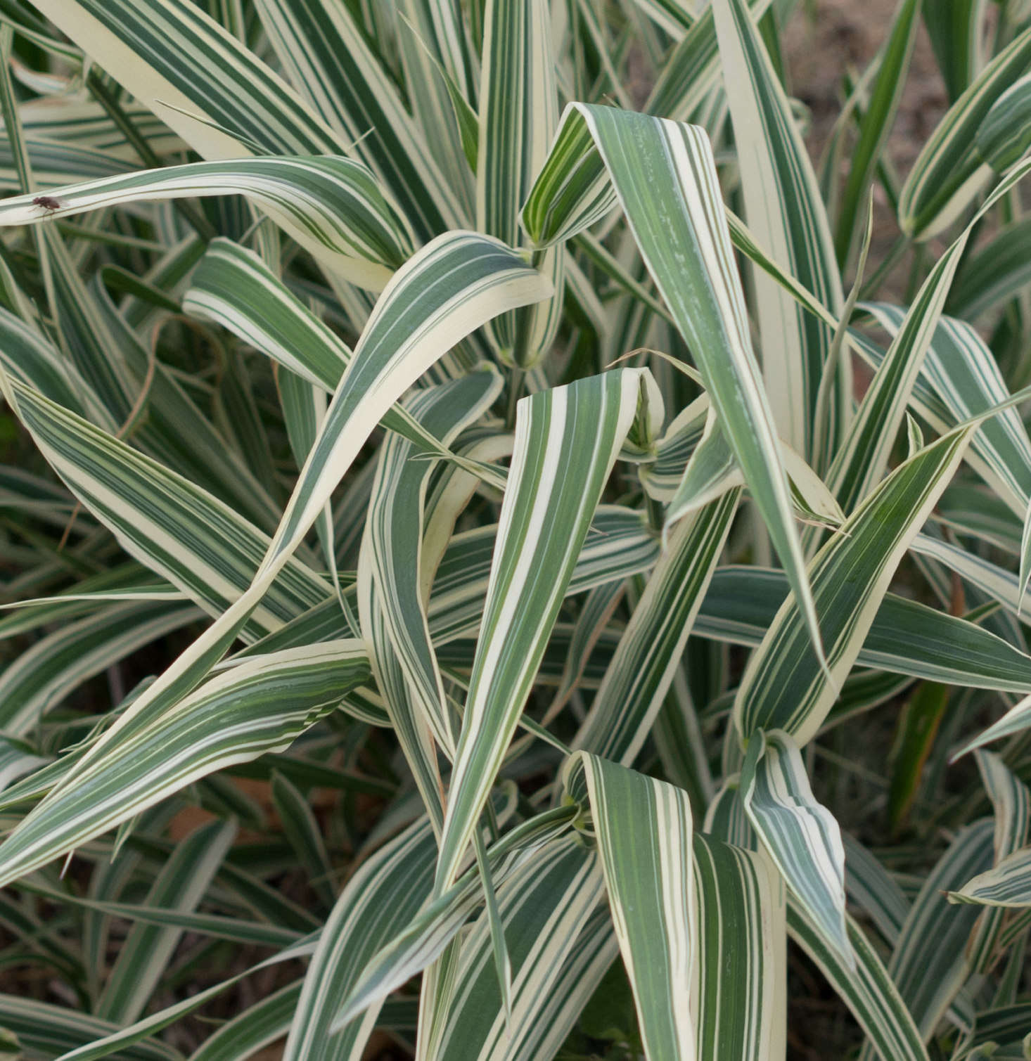 A variegated variety of ribbon grass (Phalaris arundinacea) has creamy striped foliage. Photograph by F.D. Richards via Flickr.