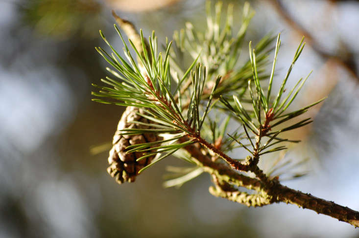 Among species of pine, L. sylvestris is known for having small, squat cones (which may appear as early as the second year of a tree&#8