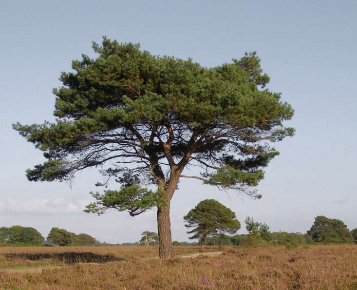 The natural form of a Scots pine (P. sylvestris)as seen here in the English countryside bears no resemblance to a Christmas tree. Photograph by Jim Champion via Flickr.