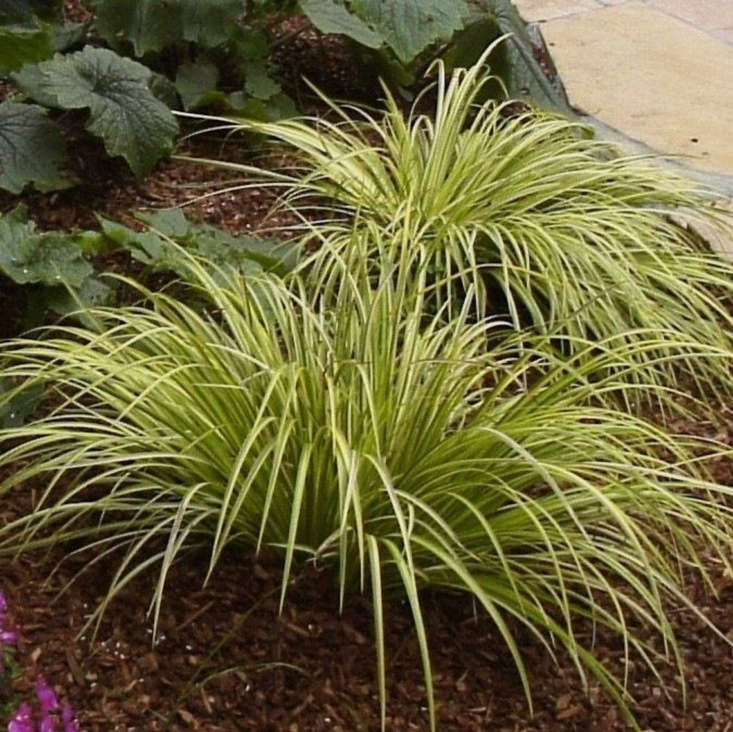 &#8\2\16;Ogon&#8\2\17; has a clumping form. A 6-inch plant in a 3-inch pot is \$9.88 from 9EzTropical via Etsy.