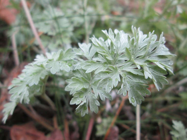 Artemisia absinthium likes full sun, and favors poor soil with excellent drainage. It is a good choice for low-water gardens and is hardy from USDA zones 4 to 9. Photograph by Andreas Rockstein via Flickr.