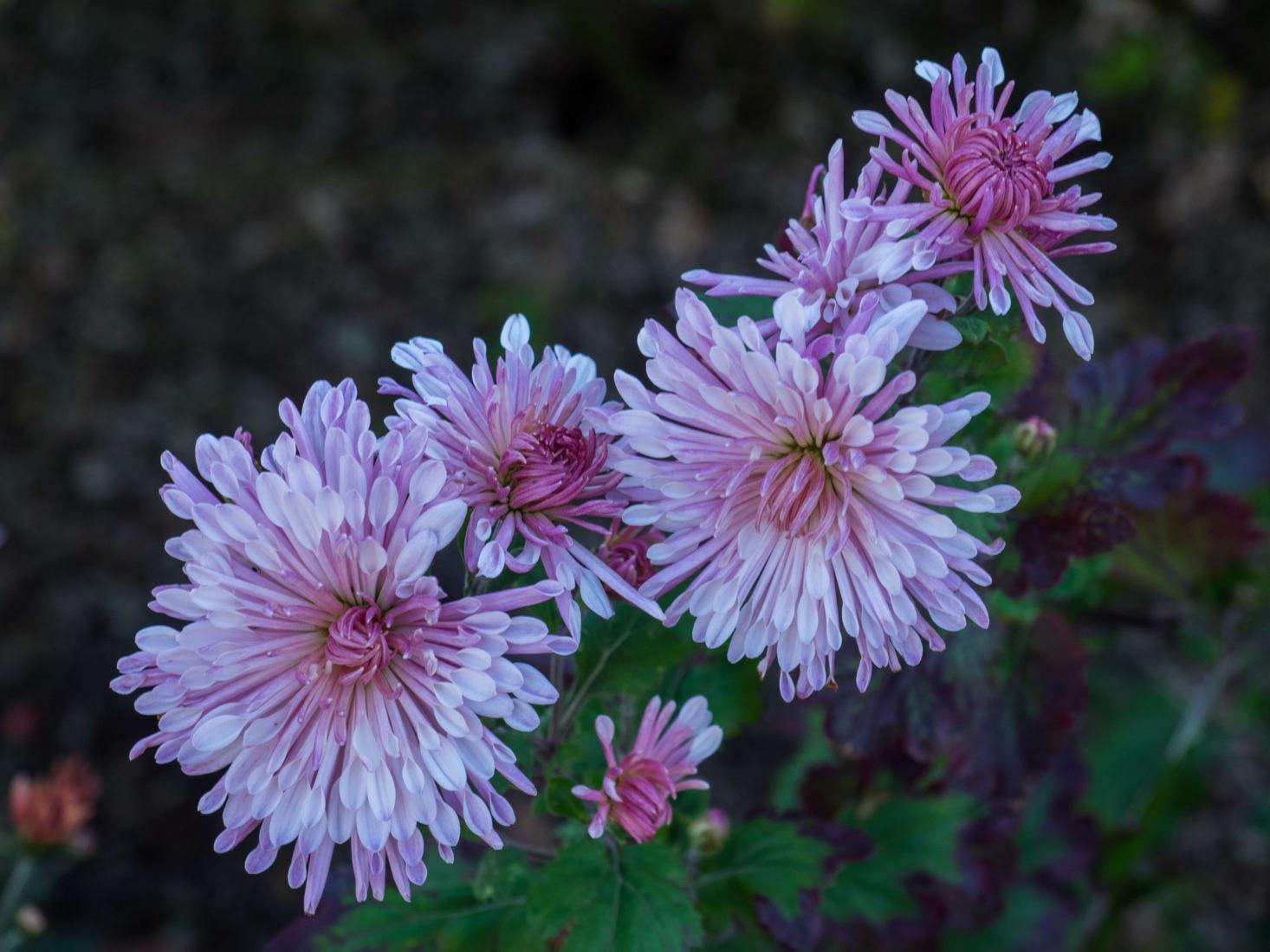Chrysanthemum rubellum &#8
