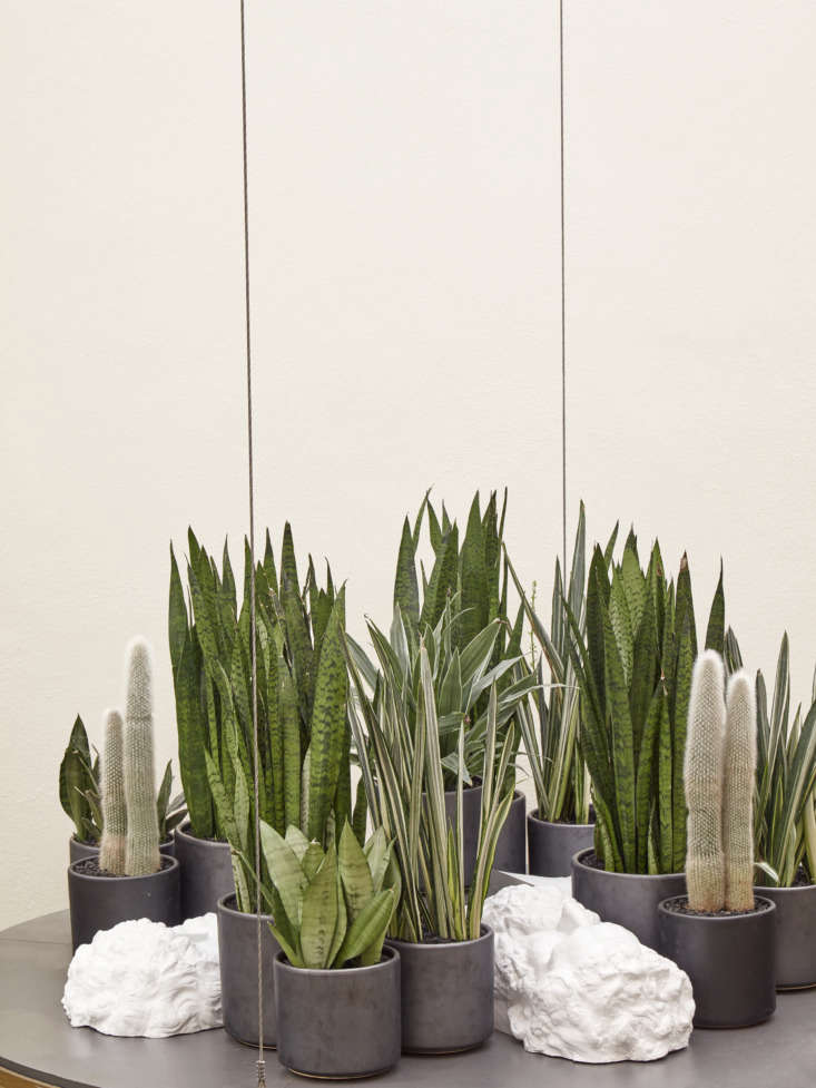 Drought-tolerant plants such as snake plant Sansevieria trifasciata and cactus Cleistocactus need to be watered once a month.