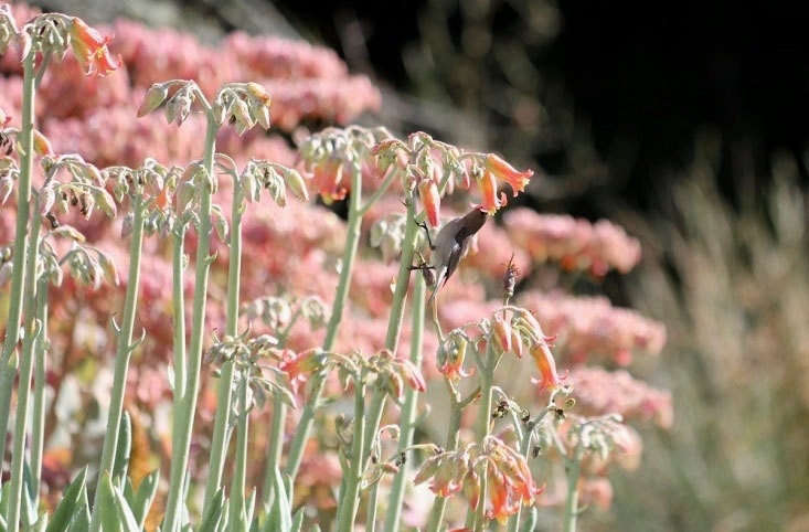 And cotyledons come with spectacular benefits: powdery silver spikes of apricot flowers in late spring. Succulent cotyledon species have rounded as well as elongated leaves, and are very drought tolerant. They are hardy from USDA zones 9 to \1\1.