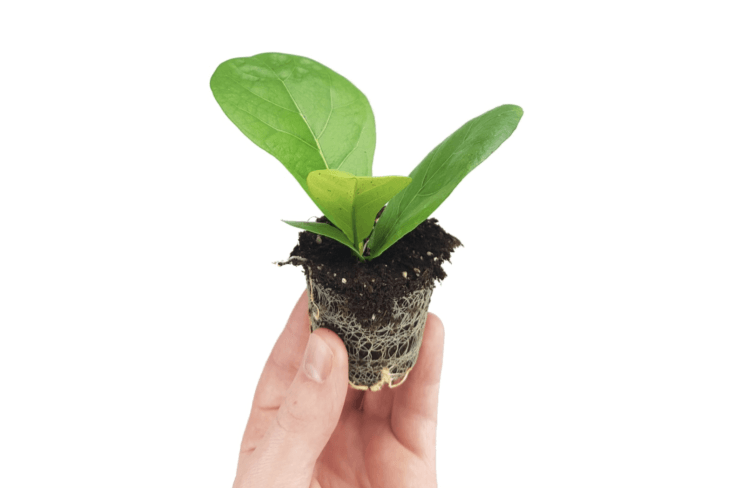 A baby Ficus Lyrata fiddle leaf fig houseplant is €3.99 but temporarily sold out.