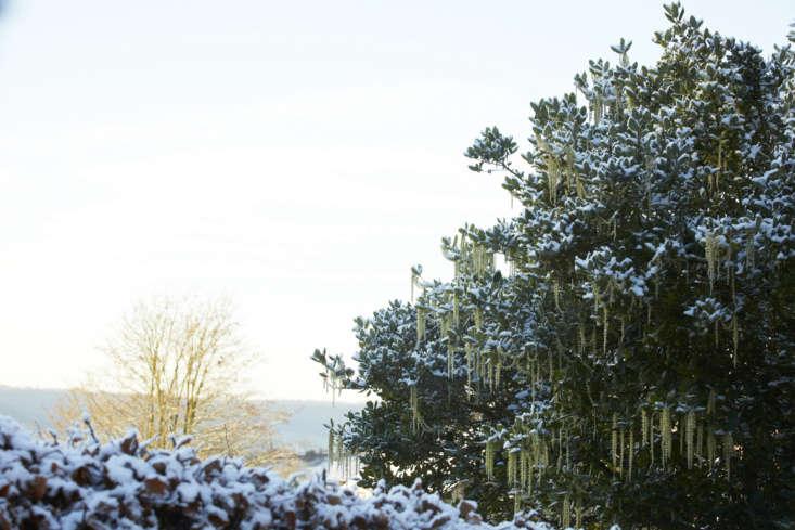 Garrya ellipticalooks elegant frosted with snow.