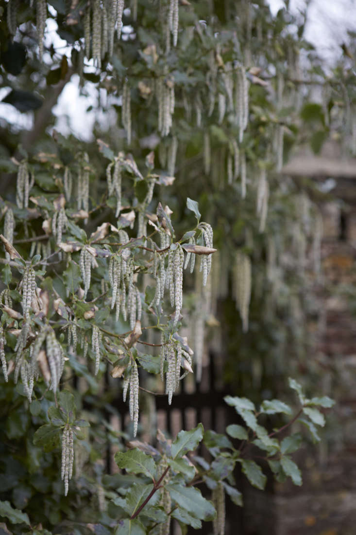 Scorched leaves and a slightly bedraggled appearance by the end of winter can be fixed with pruning.