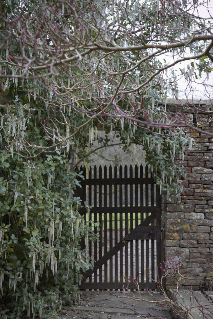 Garrya elliptica in England.