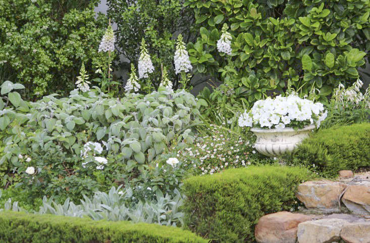 For gardens in semi shade,Plectranthus argentatus can be grown as an annual where winters freeze, or a perennial in warmer regions (silver spurflower is only winter hardy in zones 9 to \1\1). The Australian native has broad velvety leaves and partners especially well with whites and greens for cool color palettes.