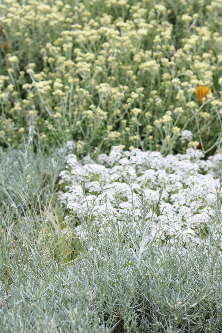Like the sages, the silver foliage of so-called curry bush (no relation to curry leaf, Murray koenigii) is deliciously aromatic. In the foreground above, MediterraneanHelichrysum italicum&#8\2\16;s soft needles provide a linear contrast for the rounded mounds of sweet alyssum (in summer this Helichrysum produces vivid yellow flowers). Behind, South African Helichrysum petiolareis topped with everlasting-like cream blooms that are highly fragrant.