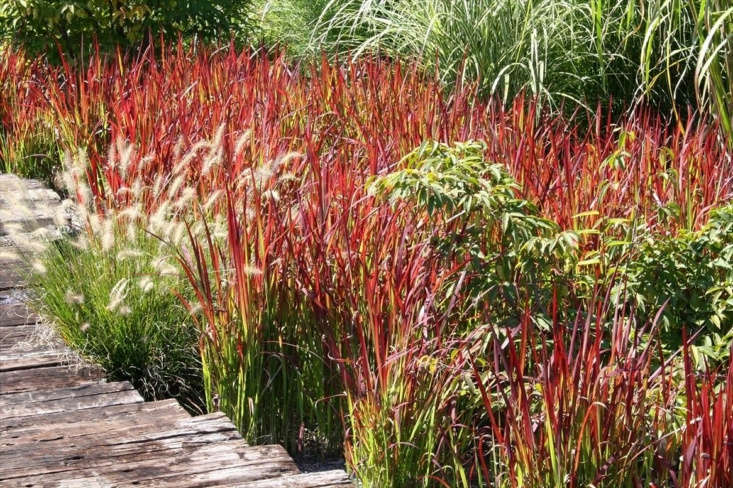 See Desert Horizon Nursery for Japanese Bloodgrass information and prices.