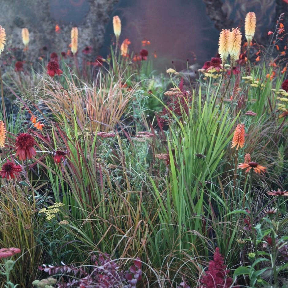 To replicate this planting scheme, a Smokey Ready-Made Border ( plants, including Imperata cylindrica &#8