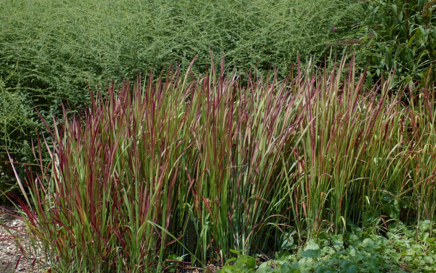 Japanese bloodgrass (&#8