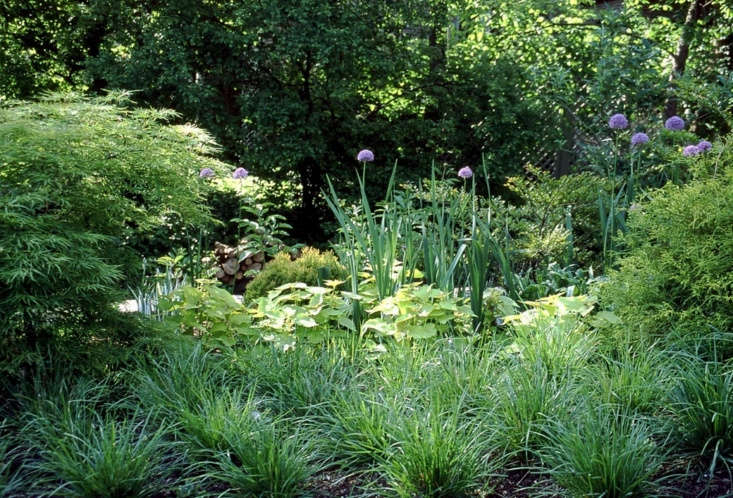 Moor grass (S. autumnalis 'Greenlee') punctuates a garden with well-behaved clumps and frames the bright purple flowers of alliums in a California garden. For prices and delivery information, see Seslerias at Greenlee and Associates.