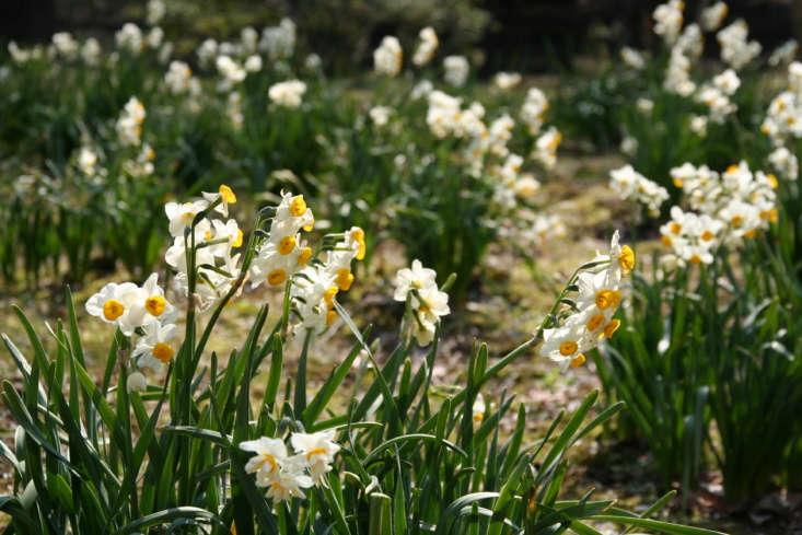 Narcissus in bloom in early March in Yokohama, Japan. Photograph by Skyseeker via Flickr.