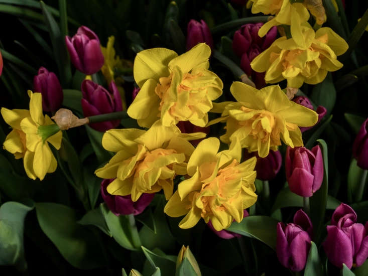 Narcissus &#8\2\16;Double Fashion&#8\2\17; mingles with purple tulips. Photograph by F. D. Richards via Flickr.