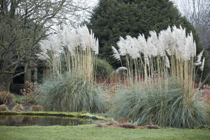 Pampas grass, which can grow to a statuesque height of  feet, steals the show with its snowy plumes.