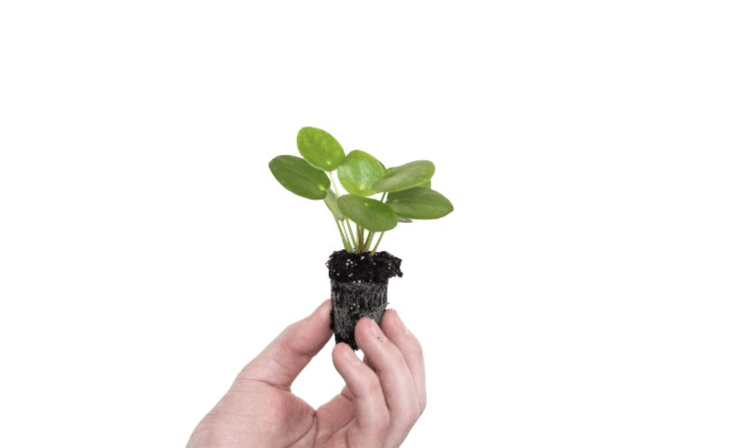 A baby Pilea Peperomioides (hello, little pancake plant) is €3.99.
