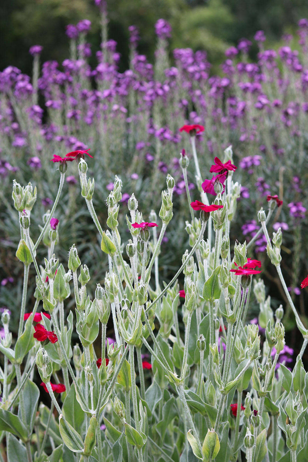 With its velvet leaves and fuchsia (or white) flowers, Lychnis coronaria, or rose campion, is a self-seeding filler for beds and garden path edges with shallow soil that tend to be on the dry side—the drier the soil, the more silvery the leaves. It is very important to deadhead the plant as soon as its blooms are spent, or it tends to be invasive.