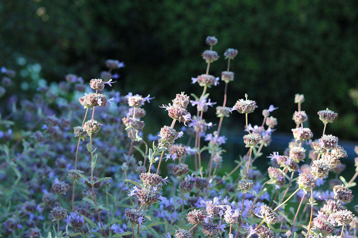 Another star of the gray-leafed galaxy is salvia. And there are so many salvias, worldwide. Salvia clevelandii, above, is a North American species originating in southern California.
