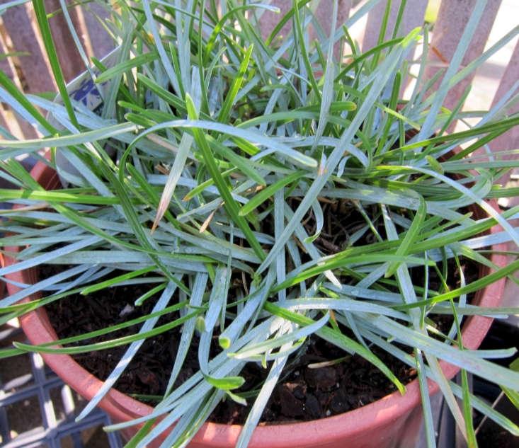 Blue moor grass (S. caerulea). Photograph by Chris Hunkeler via Flickr.
