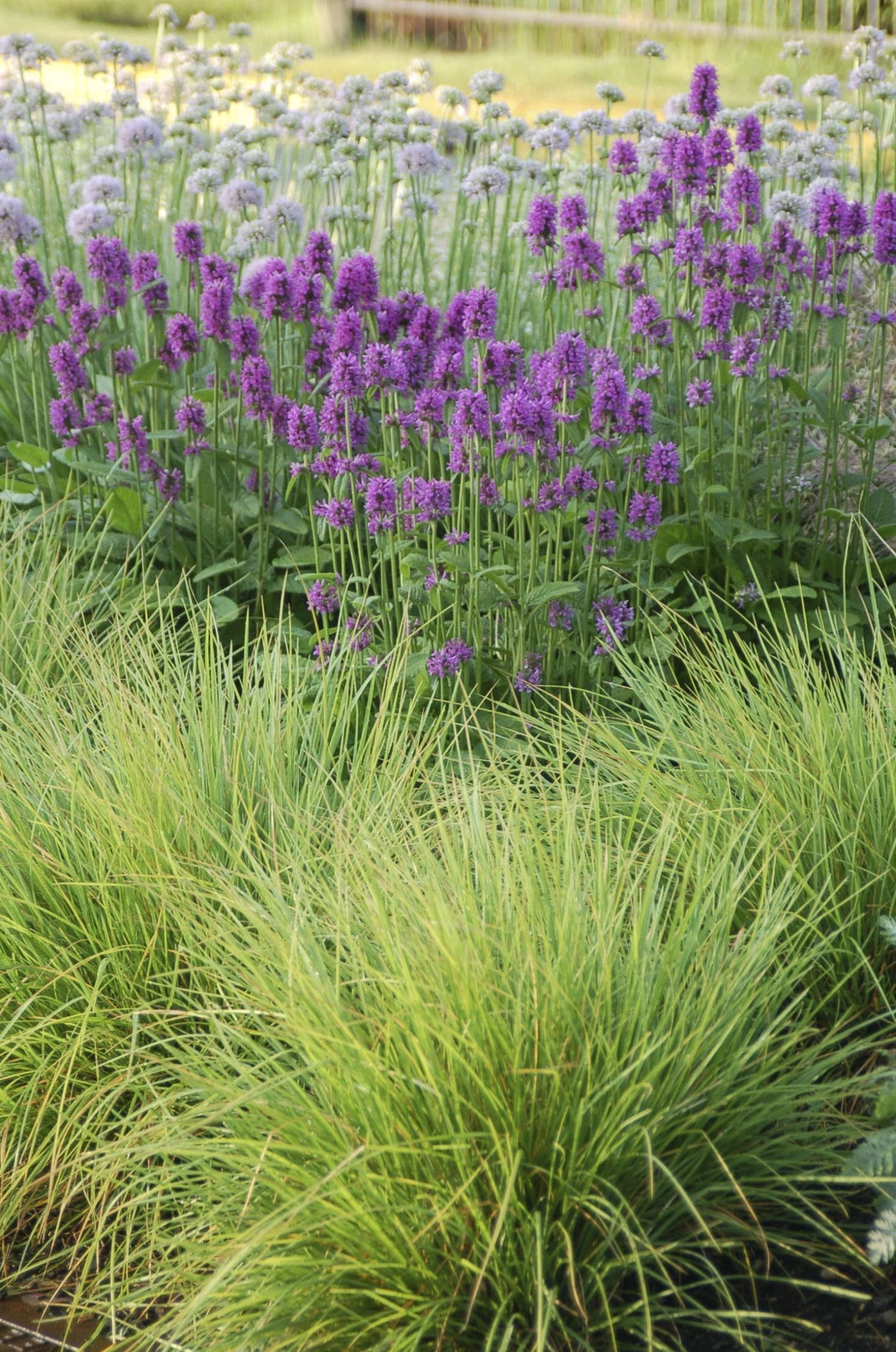 Sesleria, stachys, and alliums are staples of Oudolf&#8