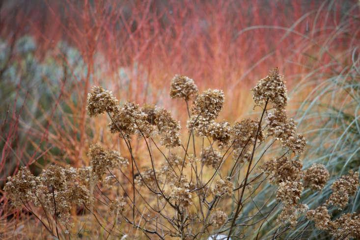 Hydrangea paniculata &#8\2\16;Limelight&#8\2\17; against Cornus sanguinea &#8\2\16;Midwinter Fire&#8\2\17;.