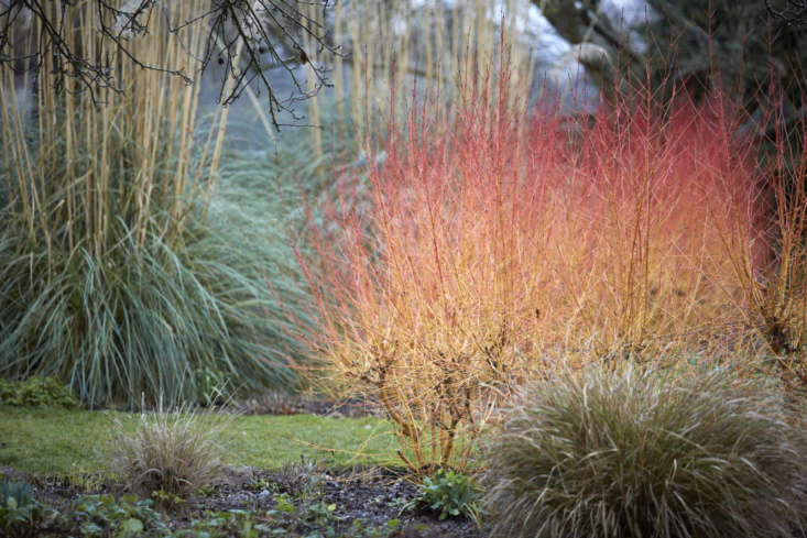Smoldering dogwood stems draw attention to the drama of super-sized pampas grass, flanking a pond.