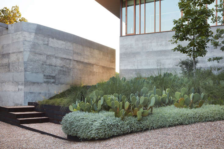 Perennial grasses and trailing ground cover softens the edges of the spineless prickly pear cacti (Opuntia cacanapa &#8