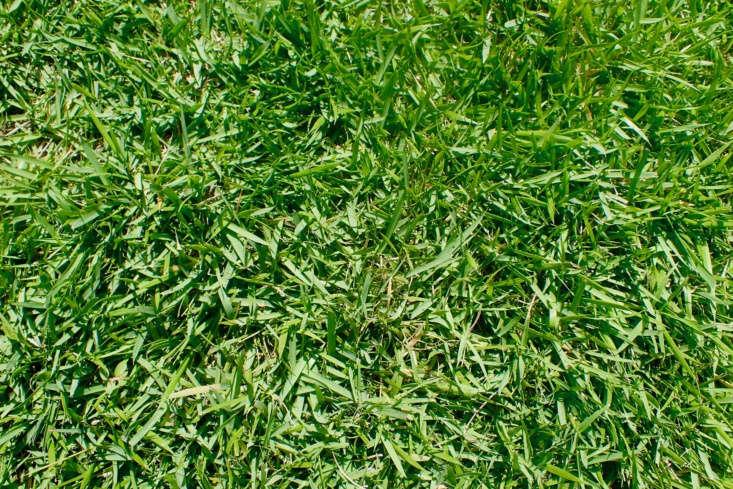 Zoysia japonica &#8\2\16;Compadre&#8\2\17;. Photograph by Kenraiz Krzysztof Ziarnek via Wikimedia.