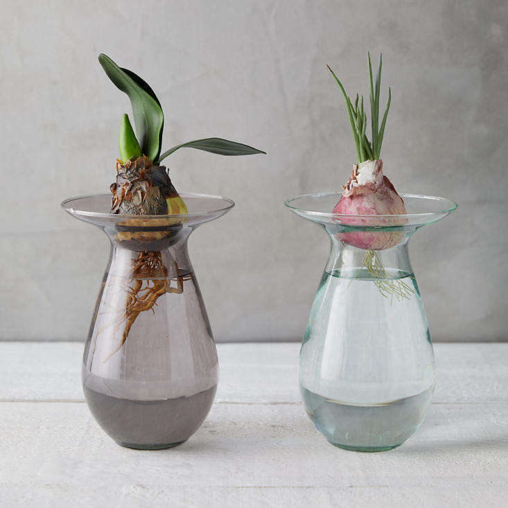 Also available in three colors, an Amaryllis Bulb Vase comes comes in two sizes (9 inches high and \1\1 inches high) and is from \$\28 to \$34 depending on size at Terrain.