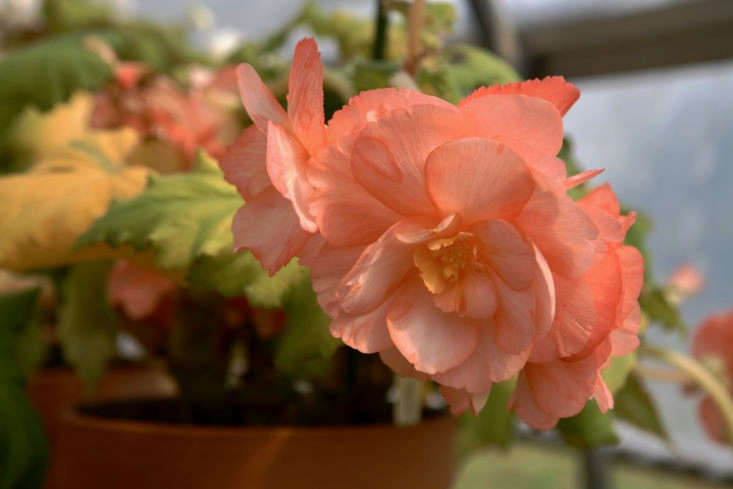 Apricot flowers are common among tuberous begonias.