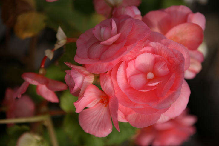 For a similar deep pink tuberous begonia, consider Begonia &#8