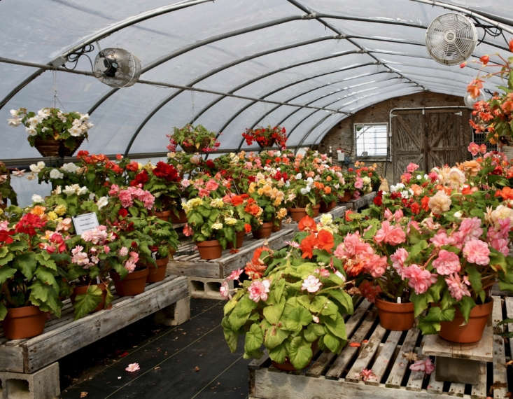 Frost-sensitive tuberous begonias enjoy warmth and humidity indoors at White Flower Farm in Litchfield, Connecticut.