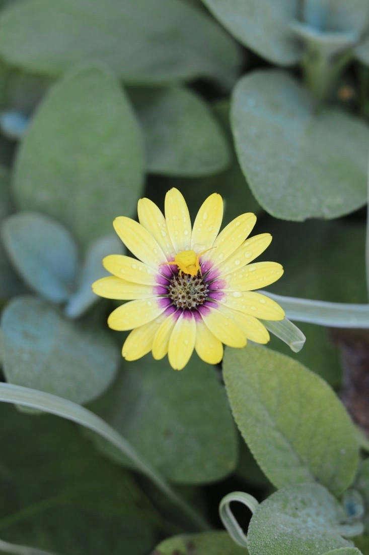 Photographie de Marie Viljoen de Quicksilver : 11 Des plantes pour un jardin gris argenté.