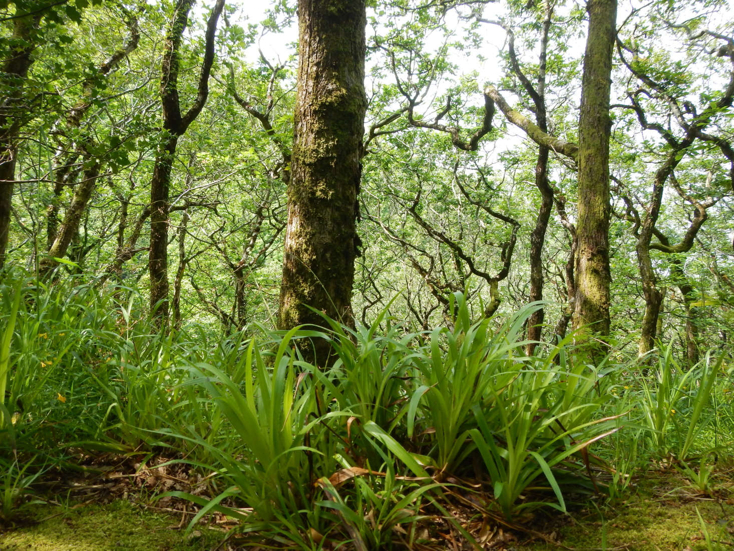 L. sylvatica grows at the base of oak trees in the UK. Photograph by Matt Lavin via Flickr.