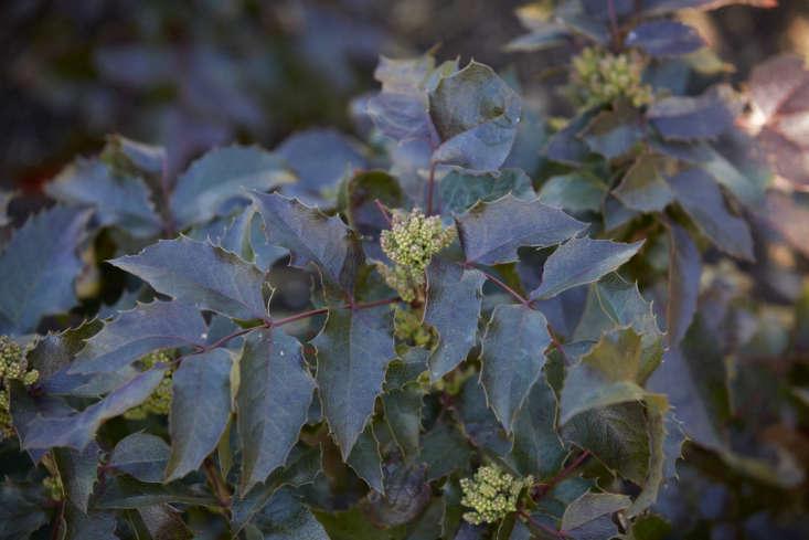 Mahonia aquifolium &#8