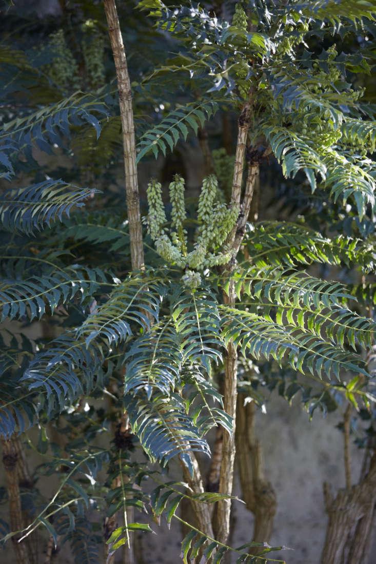 Rosettes of Mahonia lomariifolia at Oxford Botanic Garden.
