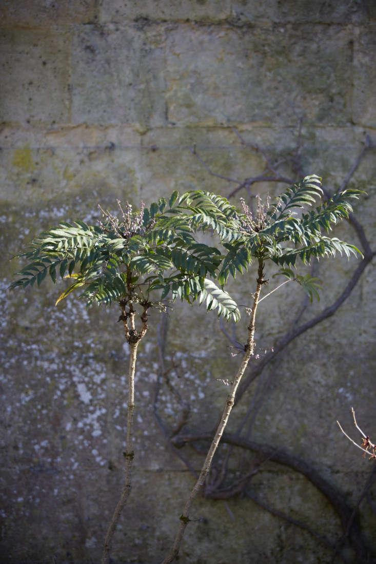 Mahonia confusa at Oxford Botanic Garden, hardy in USDA zones 6 to 9.