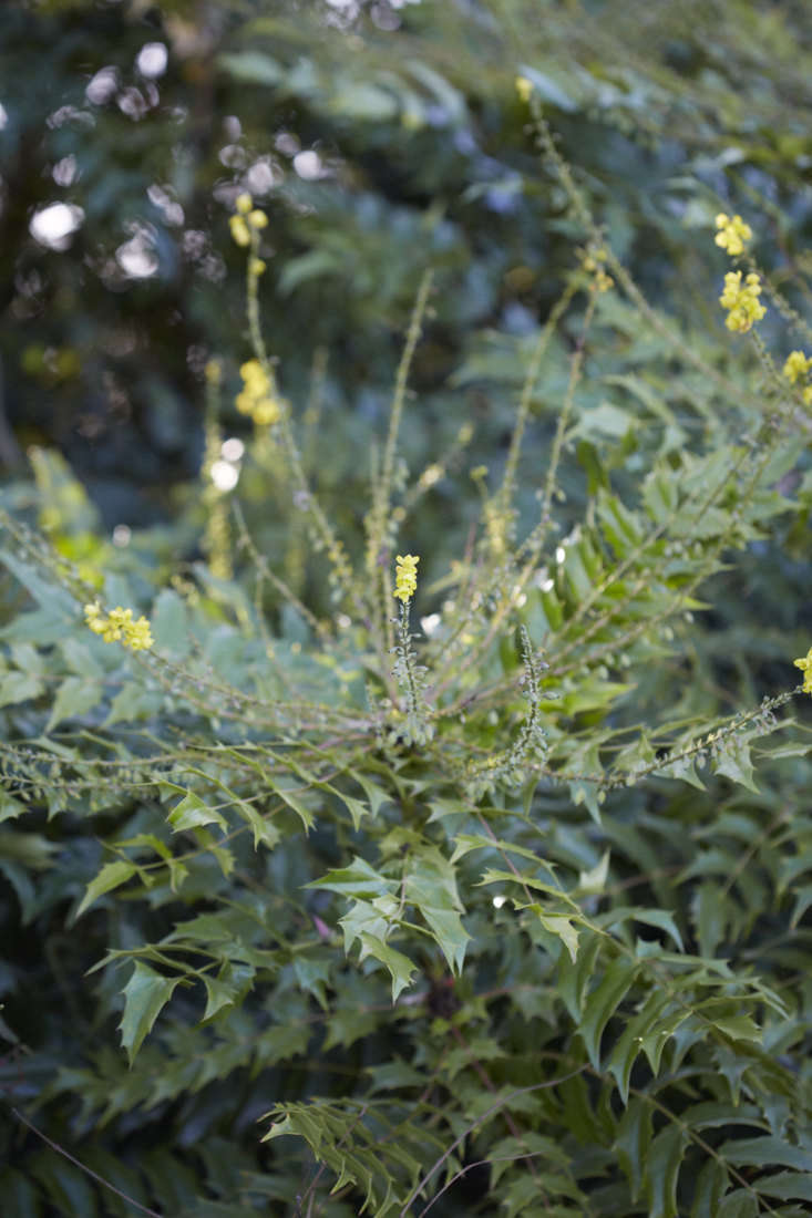 Mahonia japonica at RHS Wisley.