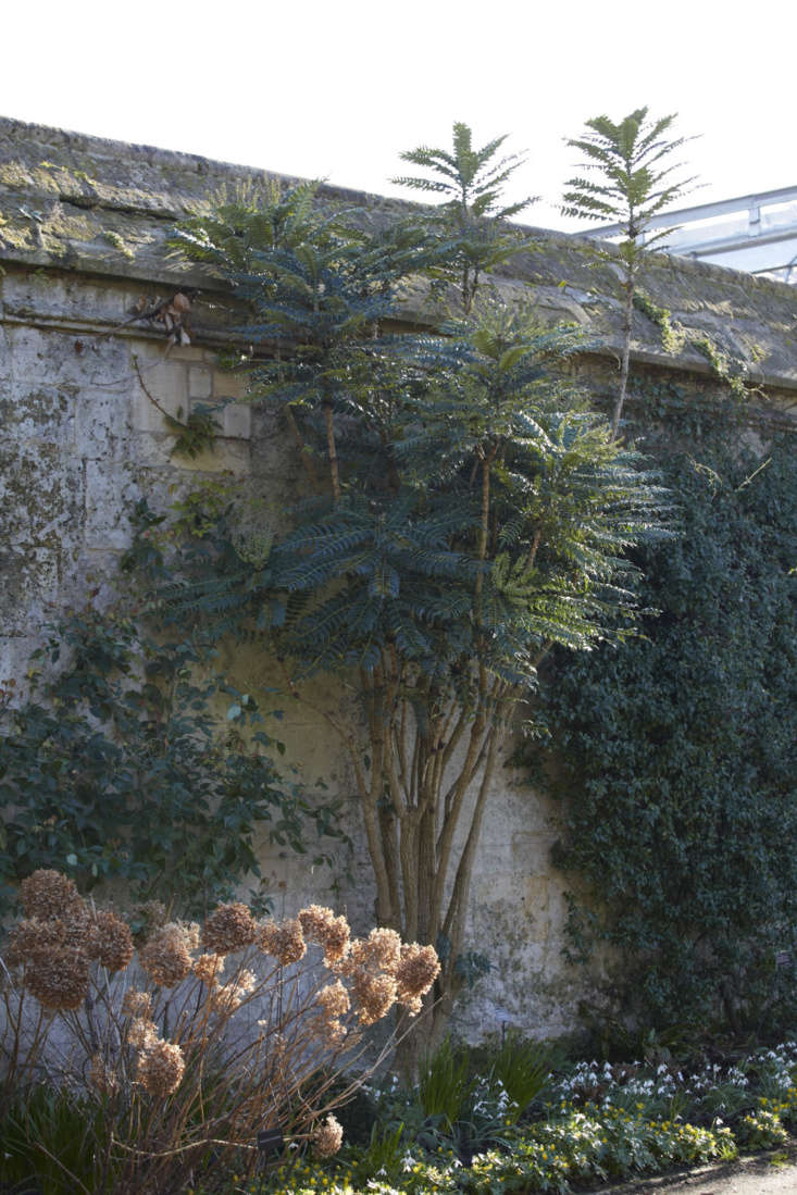 Not a shy wallflower.Mahonia lomariifolia facing the Taxonomic Beds at Oxford Botanic Garden.