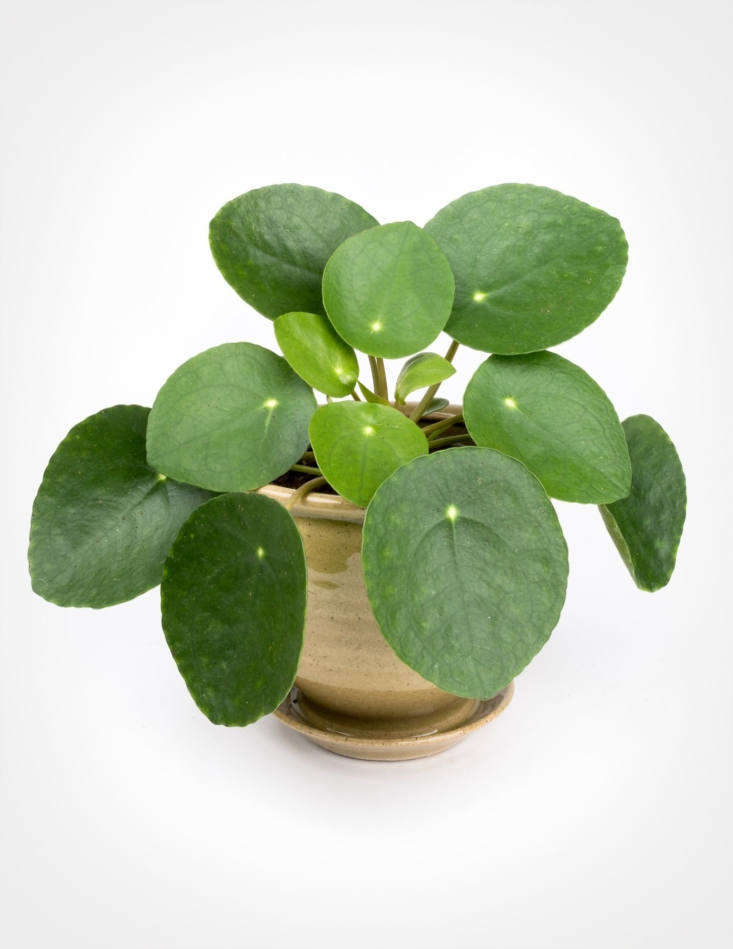 A Pilea Peperomioides in a 4-inch plastic nursery pot is \$\16 at Pistils Nursery.