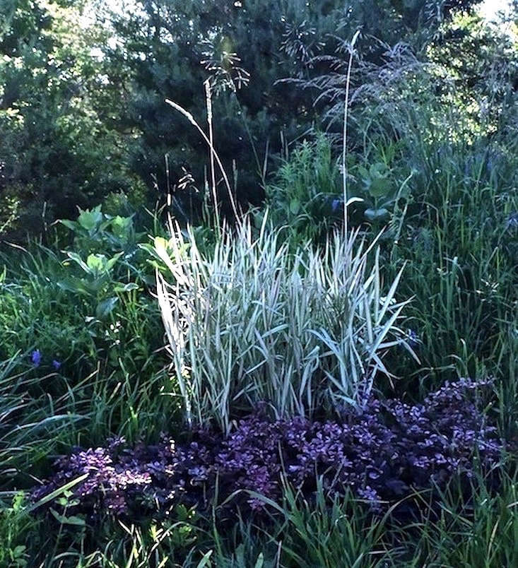 Hardy in climates are cold as USDA zone \2, a 3-inch pot of Phalaris arundinacea 'Feesey' is\$3.99 CAD at Bamboo Plants.