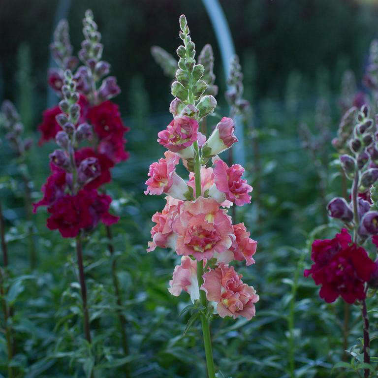 A packet of 0 seeds of Snapdragon Madame Butterfly Bronze is available seasonally from Floret Flowers. Add your name to the waiting list at Floret Flowers.