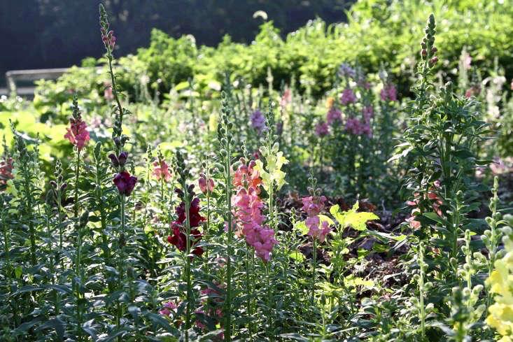 Antirrhinum majus, run amok (in a good way) in a cutting garden.