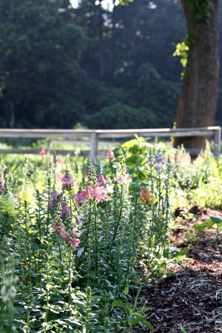See more of these snapdragons at\1\2 Tips for Growing Cutting Flowers from Barberry Hill Farm.